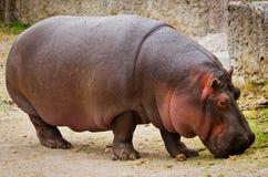 Hippo Hippopotamus amphibius. close up Royalty Free Stock Photos