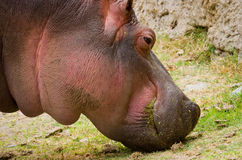 Hippo Hippopotamus amphibius. close up Royalty Free Stock Photography