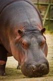 Hippo Hippopotamus amphibius. close up Stock Image