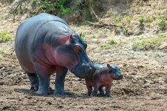 Hippo Hippopotamus amphibius. Hippo family Hippopotamus amphibius outside the water, Africa stock photo