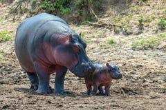 Hippo Hippopotamus amphibius stock photo
