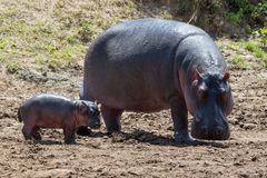 Hippo Hippopotamus amphibius. Hippo family Hippopotamus amphibius outside the water, Africa royalty free stock photos