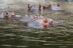 Hippo or Hippopotamus amphibius Stock Image