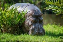 Hippo Hippopotamus amphibius royalty free stock photography