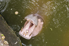 Hippo, Hippopotamus amphibius, open mouth. Wait for food Royalty Free Stock Photography