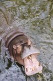 Hippo, Hippopotamus amphibius, open mouth Royalty Free Stock Photo