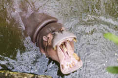 Hippo, Hippopotamus amphibius, open mouth. Wait for food Stock Photography