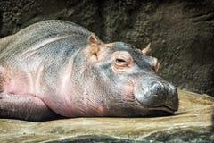 Hippo - Hippopotamus amphibius resting near the water Royalty Free Stock Image