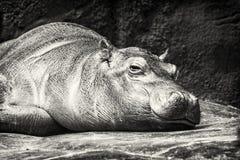 Hippo - Hippopotamus amphibius resting near the water, colorless Stock Photo
