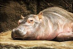 Hippo - Hippopotamus amphibius resting, yellow filter Royalty Free Stock Photography