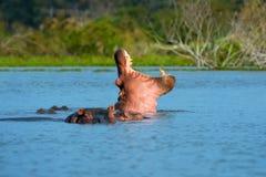 Hippo Hippopotamus amphibius in the river stock images