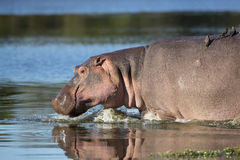 Hippo (Hippopotamus amphibius) South Africa Stock Images