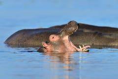 Hippo (Hippopotamus amphibius) in the water Stock Image