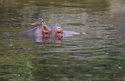 Hippo or Hippopotamus amphibius. In water side angle view Stock Photos