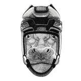 Hippo, Hippopotamus, behemoth, river-horse Hockey image Wild animal wearing hockey helmet Sport animal Winter sport Stock Photos