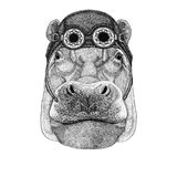 Hippo, Hippopotamus, behemoth, river-horse wearing aviator hat Motorcycle hat with glasses for biker Illustration for Royalty Free Stock Photo