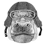 Hippo, Hippopotamus, behemoth, river-horse wearing vintage motorcycle helmet Tattoo, badge, emblem, logo, patch, t-shirt Stock Images