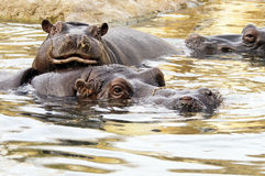 Hippo (Hippopotamus) Royalty Free Stock Image