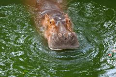 Hippo / The hippopotamus, or hippo, mostly herbivorous mammal in. Sub-Saharan Africa Royalty Free Stock Photos