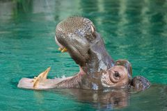 A Hippo or Hippopotamus with its mouth open in pond Stock Photo