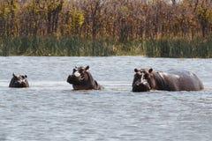 Hippo Hippopotamus, Okavango delta, Botswana Africa Stock Photos