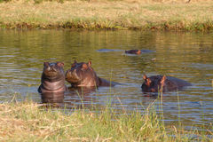 Hippo Hippopotamus, Okavango delta, Botswana Africa royalty free stock photography