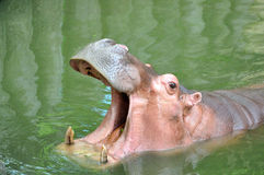 Hippo Hippopotamus. Hippo Hippopotamus open its mouth royalty free stock photo