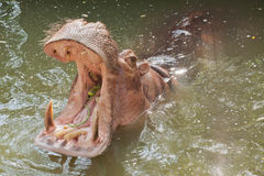 Hippo, hippopotamus open mouth. In Thailand Stock Images