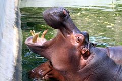 Hippo, Hippopotamus open mouth, Hippopotamus in water close up stock photography