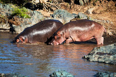 Hippo, hippopotamus in river. Serengeti, Tanzania, Africa Stock Photo