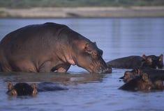 Hippo Royalty Free Stock Image