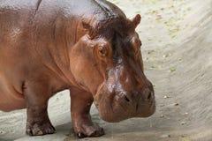 Hippo / The hippopotamus in thailand. stock images