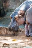 Hippo, hippopotamus in Trivandrum Zoo, Kerala, India Stock Photos