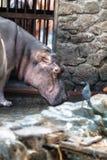 Hippo, hippopotamus in Trivandrum Zoo, Kerala, India Royalty Free Stock Photo