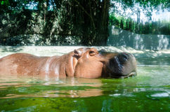 Hippo. Potamus is in water. Taken at Dusit Zoo'Bangkok Thailand Royalty Free Stock Photos