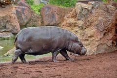 Hippo Hippopotamus. Hippopotamus wild scenery corner detail Royalty Free Stock Photos