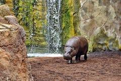 Hippo Hippopotamus. Hippopotamus wild scenery corner detail Stock Photography