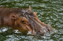 Hippo. S are looking for food in the water Royalty Free Stock Photo