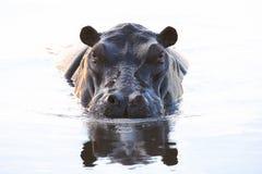 Hippo - Hipppotamus Stock Images