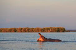 Hippo with his mouth open in the water. At sunset Stock Photo