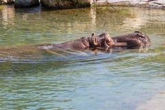 Hippo hoofdschot Stock Afbeelding