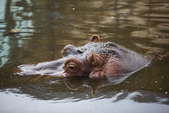 Hippo inside Water Stock Photography