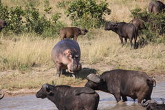 Hippo intimidating Cape Buffalo Royalty Free Stock Photos