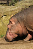 Hippo with its nose to the ground Stock Photography