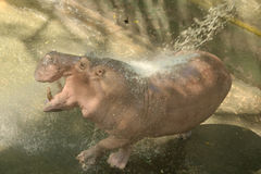 Hippo joyfully play with water Stock Photos