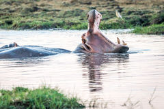 Hippo. In kafue national park in zambia Stock Image