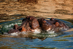 Hippo kiss Stock Photos