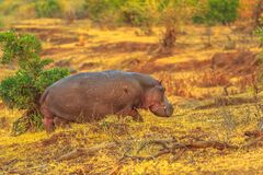 Hippo Kruger Park royalty free stock image
