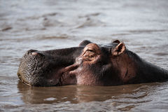 Hippo is in the lake Royalty Free Stock Images
