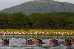 Hippo lake Royalty Free Stock Photography